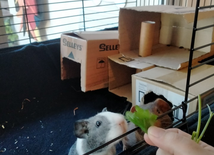 caring for guinea pigs by creating hidey holes