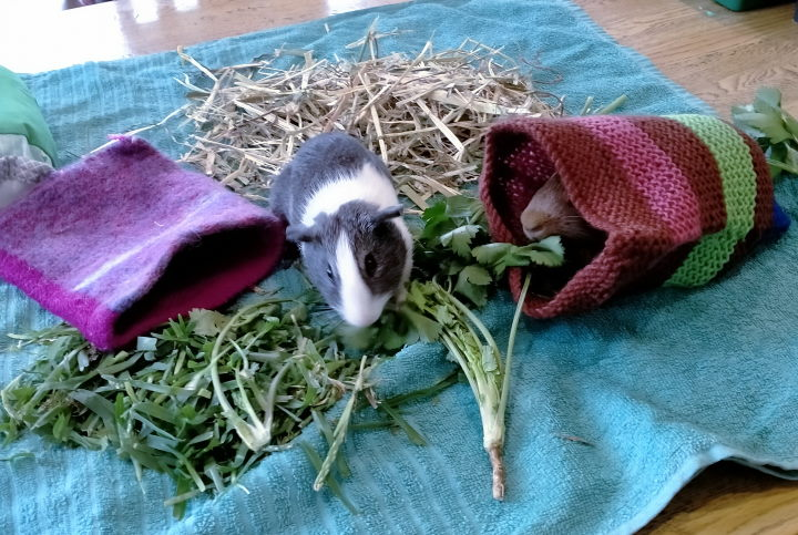 guinea pigs on blanket with forage food