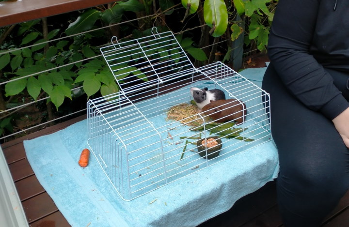 guinea pigs on bench under cage top