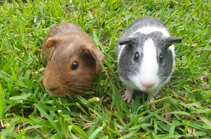 guinea pig eating grass as primary food