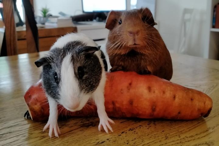 two guinea pigs on a sweet potato