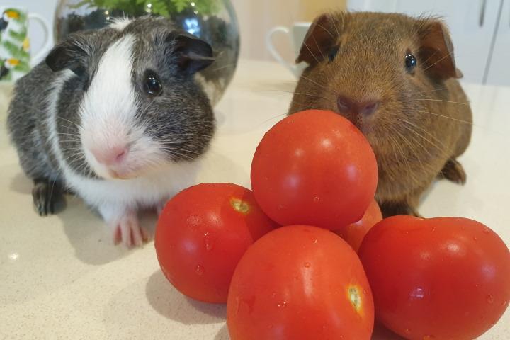 guinea pigs eating tomato