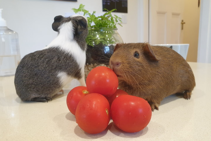 guinea pigs with tomatos
