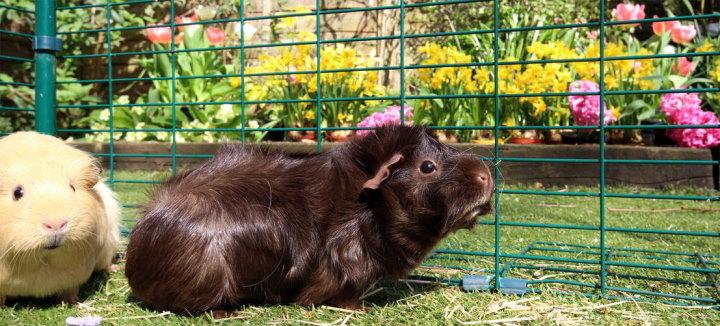 guinea pigs in wire run