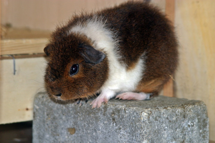 Baby Brown and White Rex Guinea Pig on Platform