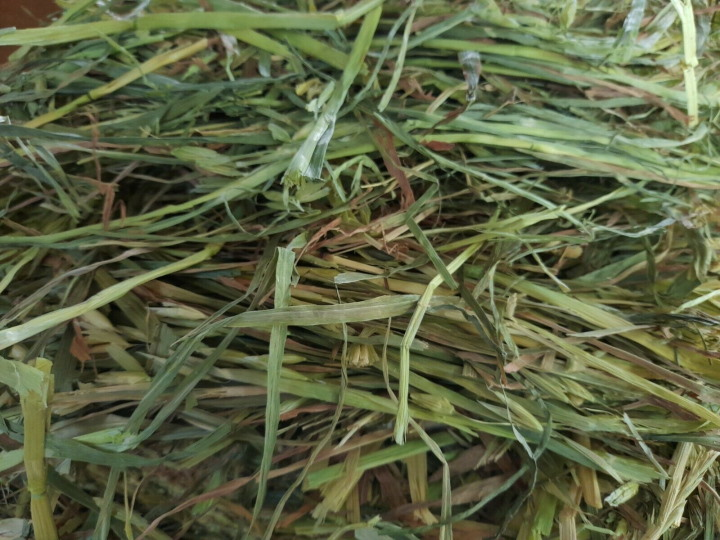 fresh green hay not from pet store