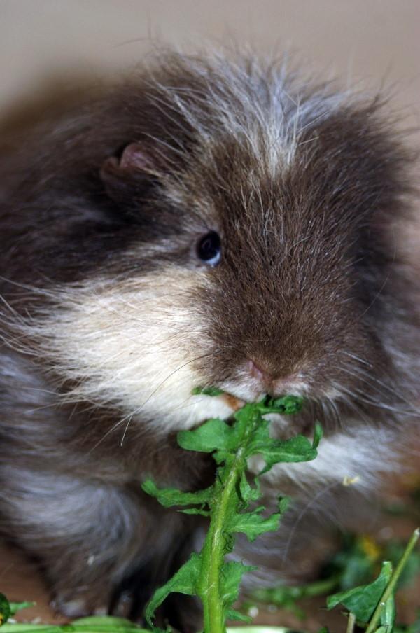 teddy guinea pig eating lettuce