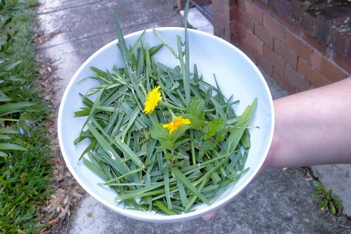 guinea pig grass bowl
