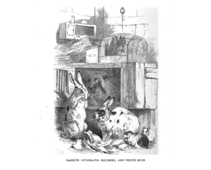Old book about guinea pigs not fed on hay