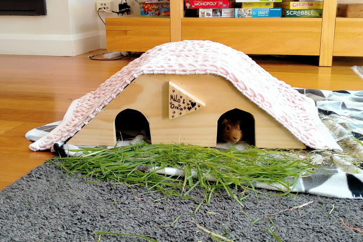 guinea pig house on carpet