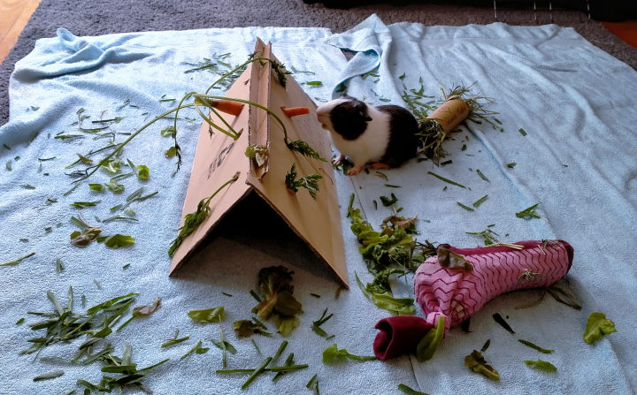 guinea pigs playing with diy toys