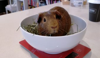 how to weigh a guinea pig