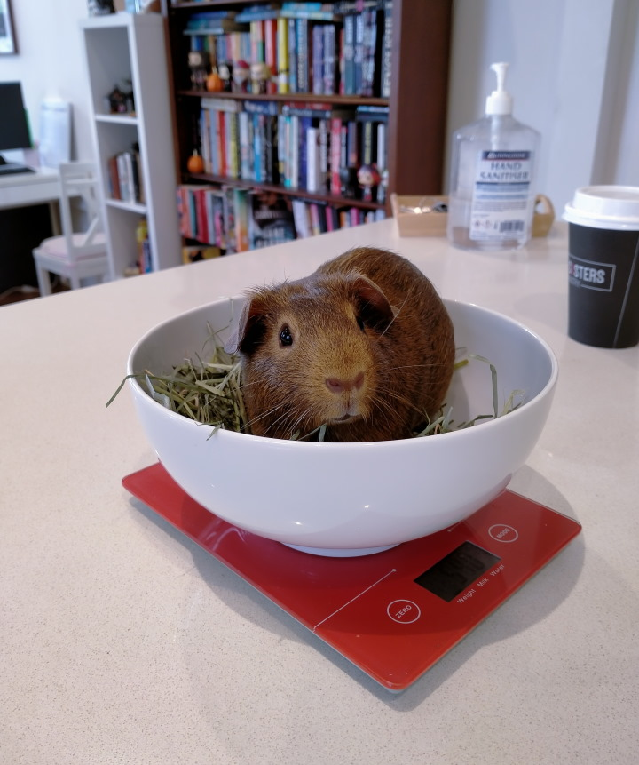 guinea pig being weighed