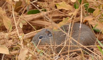 wild guinea pig in undergrowth