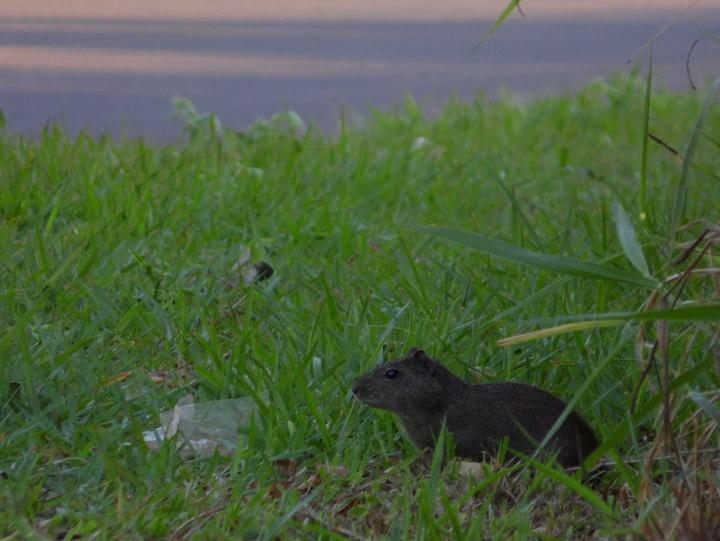 wild uinea pig awaiting storm