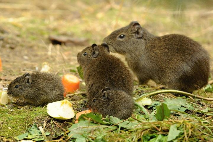 wild guinea pig herd